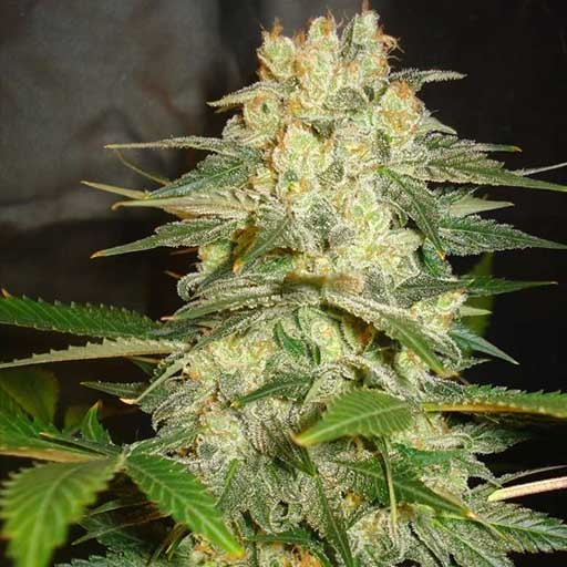 Afghan Kush Ryder Auto World of Seeds