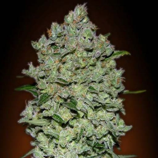 Semillas Auto BioDiesel Mass Advanced Seeds