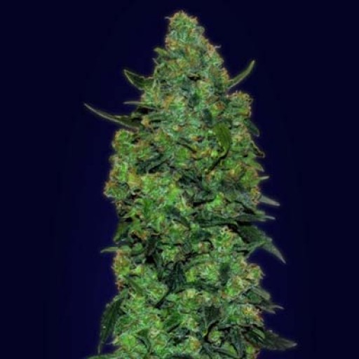 Semillas Auto Skunk Mass Advanced Seeds