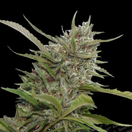 Semillas Auto Whiteberry Paradise Seeds autoflorecientes