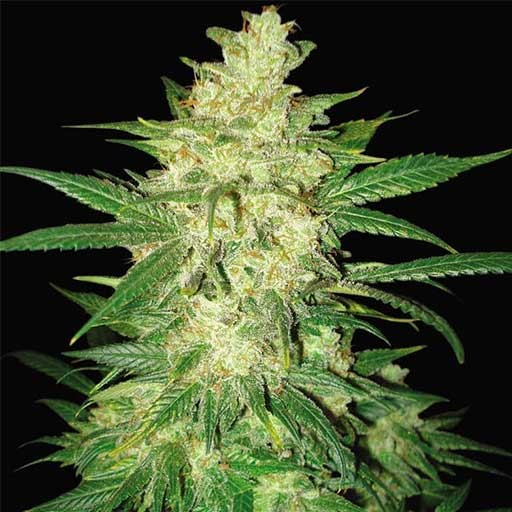 Sweet Coffee Ryder Auto World of Seeds