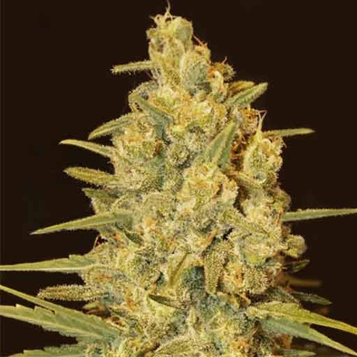 Semillas Critical Sensi Star Delicious Seeds feminizadas
