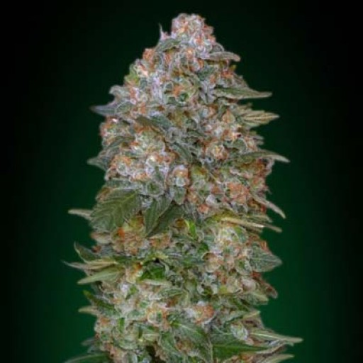 Semillas Critical Soma Advanced Seeds feminizada