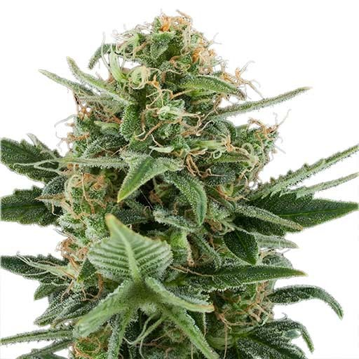 Royal Dwarf autoflorecientes Royal Queen Seeds