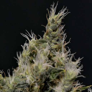 Semillas Vanilla Haze CBD Seeds feminizadas
