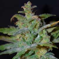 Semillas AK Auto Female Seeds autoflorecientes
