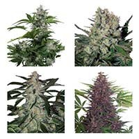 Assorted Mix autoflorecientes Buddha Seeds