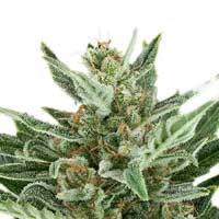 Easy Bud autoflorecientes Royal Queen Seeds