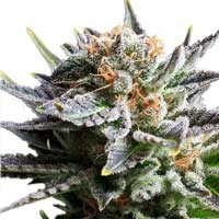 Fruit Spirit feminizadas Royal Queen Seeds
