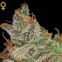 King's Kush semillas feminizadas Green House Seeds