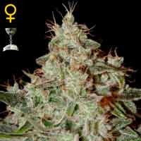 Lemon Skunk feminizadas Green House Seeds