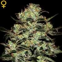 Moby Dick feminizadas Green House Seeds