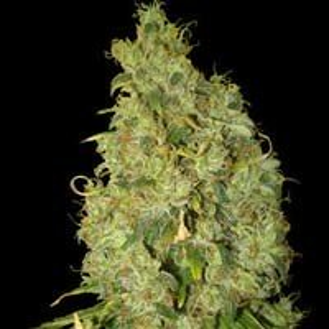 Semillas Northern Light x Big Bud feminizadas World of Seeds