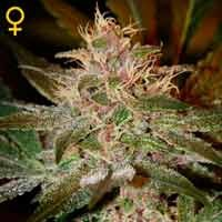 Pure Kush semillas feminizadas Green House Seeds