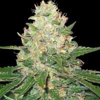 Semillas Rocklock DNA Genetics feminizada