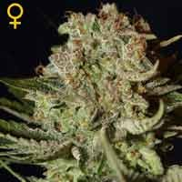 Super Bud feminizadas Green House Seeds