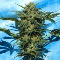 White Russian Auto semillas Serious Seeds