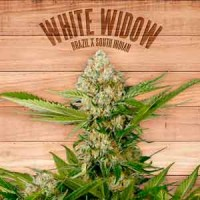 White Widow the plant organic