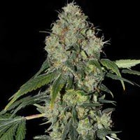 White Dragon semillas feminizadas Eva Seeds