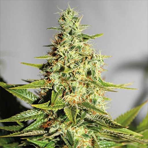 Acapulco Gold feminized seeds Barney's Farm