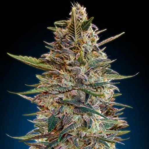 Auto Blue Diesel autoflowering Advanced Seeds