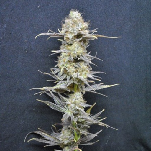 Nordle CBD Crew feminized seeds