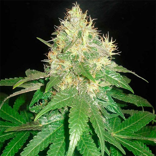 Northern Light Blue feminized Delicious Seeds