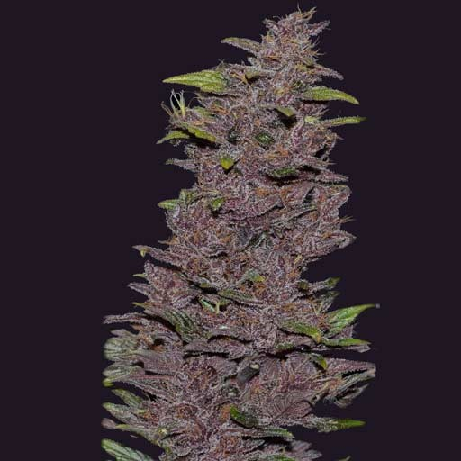 Pakistan Chitral Kush CannaBioGen feminized seeds
