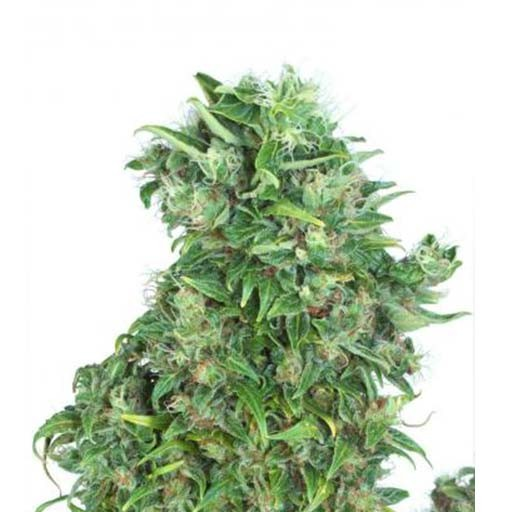 Think Different autoflowering seeds Dutch Passion