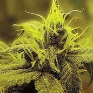 A1 Haze Sagarmatha Seeds feminized