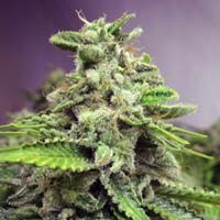 Afghan Skunk Advanced Seeds feminized