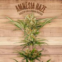 Amnesia Haze the plant