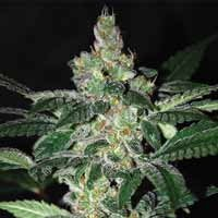 Amnesia feminized seeds World of Seeds
