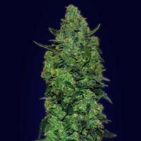 Auto Skunk Mass autoflowering Advanced Seeds