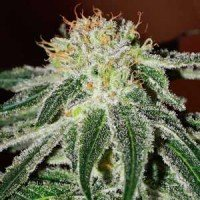 Black Russian feminized Delicious Seeds