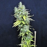 Skunk Haze CBD Crew feminized seeds