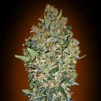 Cheese Berry 00 Seeds feminized