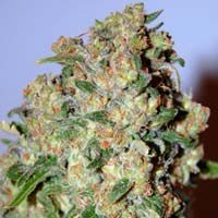 Critical Advanced Seeds feminized