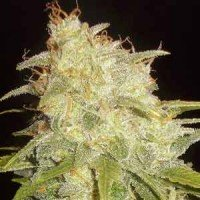 Critical Yumbolt feminized Delicious Seeds