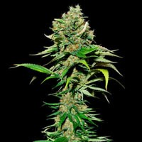 Excalibur Eva Seeds feminized