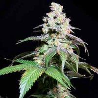 Rare Dankness Star OX seeds for sale