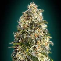 Heavy Bud Advanced Seeds feminized