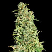 High Level feminized Eva Seeds