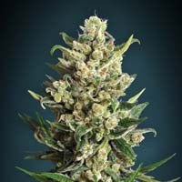 Ice Kush Advanced Seeds feminized