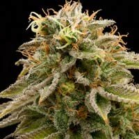 Lemon Thai Kush Humboldt Seeds feminized