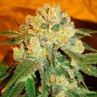 Marmalate feminized Delicious Seeds