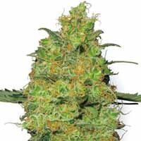 Master Kush seeds White Label feminized
