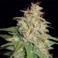 Mazar x White Rhino feminized seeds World of Seeds