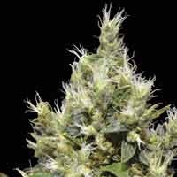 Northern CBD Seeds feminized seeds