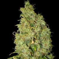 Northern Light x Skunk feminized seeds World of Seeds